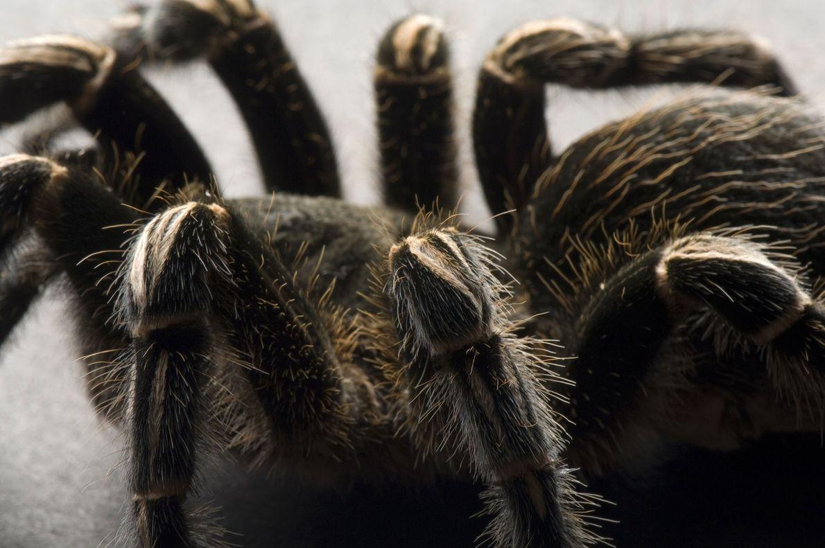 Une mygale zébrée du Costa Rica (Aphonopelma seemanni) photographiée au zoo de Great Plains à Sioux ...