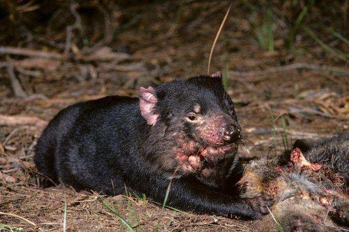 Un diable de Tasmanie souffrant d'une tumeur faciale est allongé à côté d'une carcasse sur cette ...