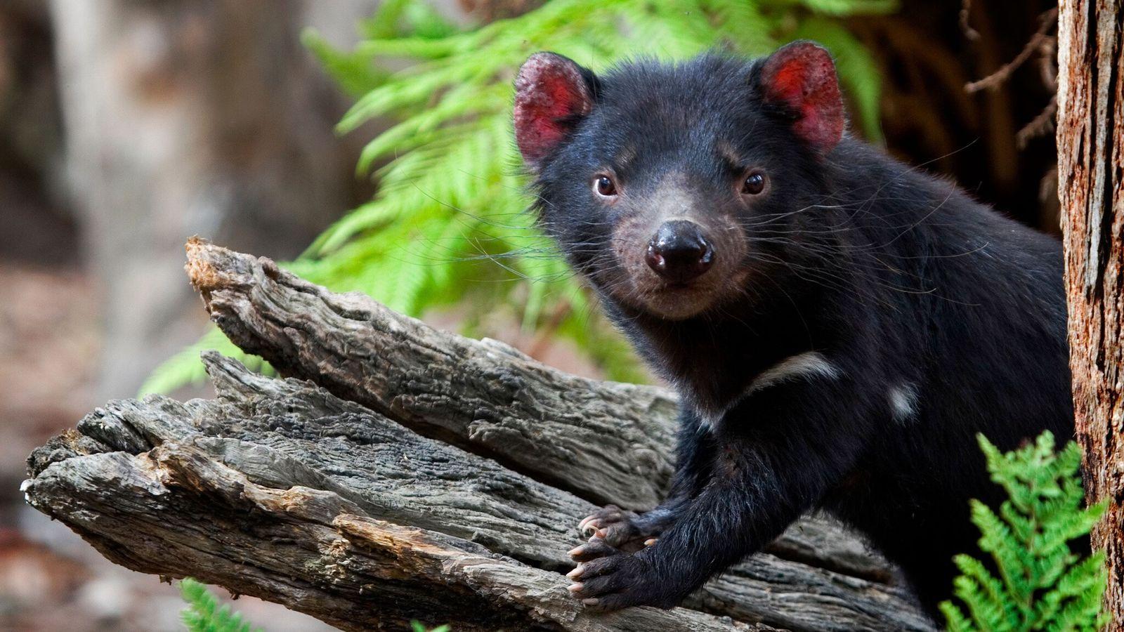 Photographié en 2008, un diable de Tasmanie vivant en captivité au Something Wild Animal Sanctuary, en Tasmanie, ...