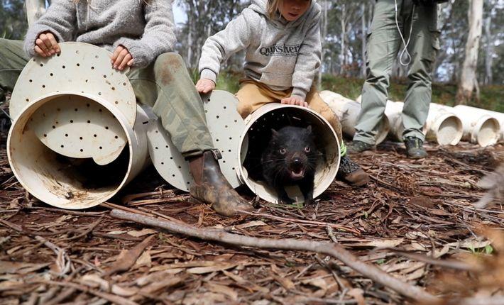 Des diables de Tasmanie sont relâchés dans leur nouvel habitat composé de forêts d'eucalyptus dans l'Est ...