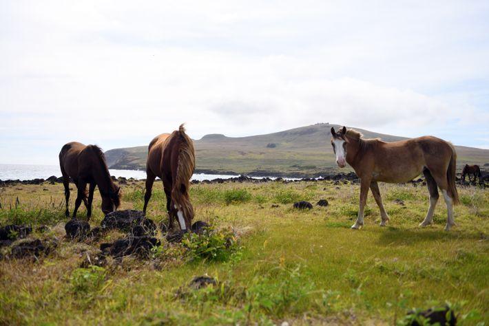 Les prairies de l'île sont peuplées de chevaux en liberté. Contrairement aux apparences, il ne s'agit ...