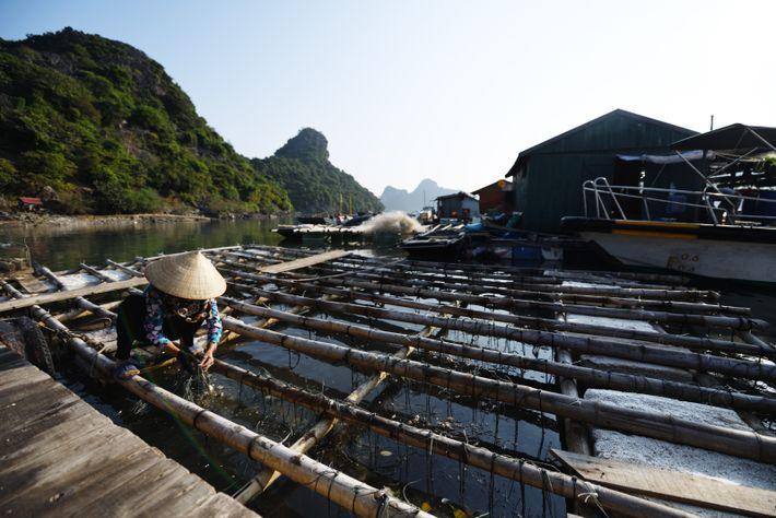 Alors qu'ils étaient autrefois répandus dans la baied'Hạ Long, il ne reste plus qu'une poignée de ...