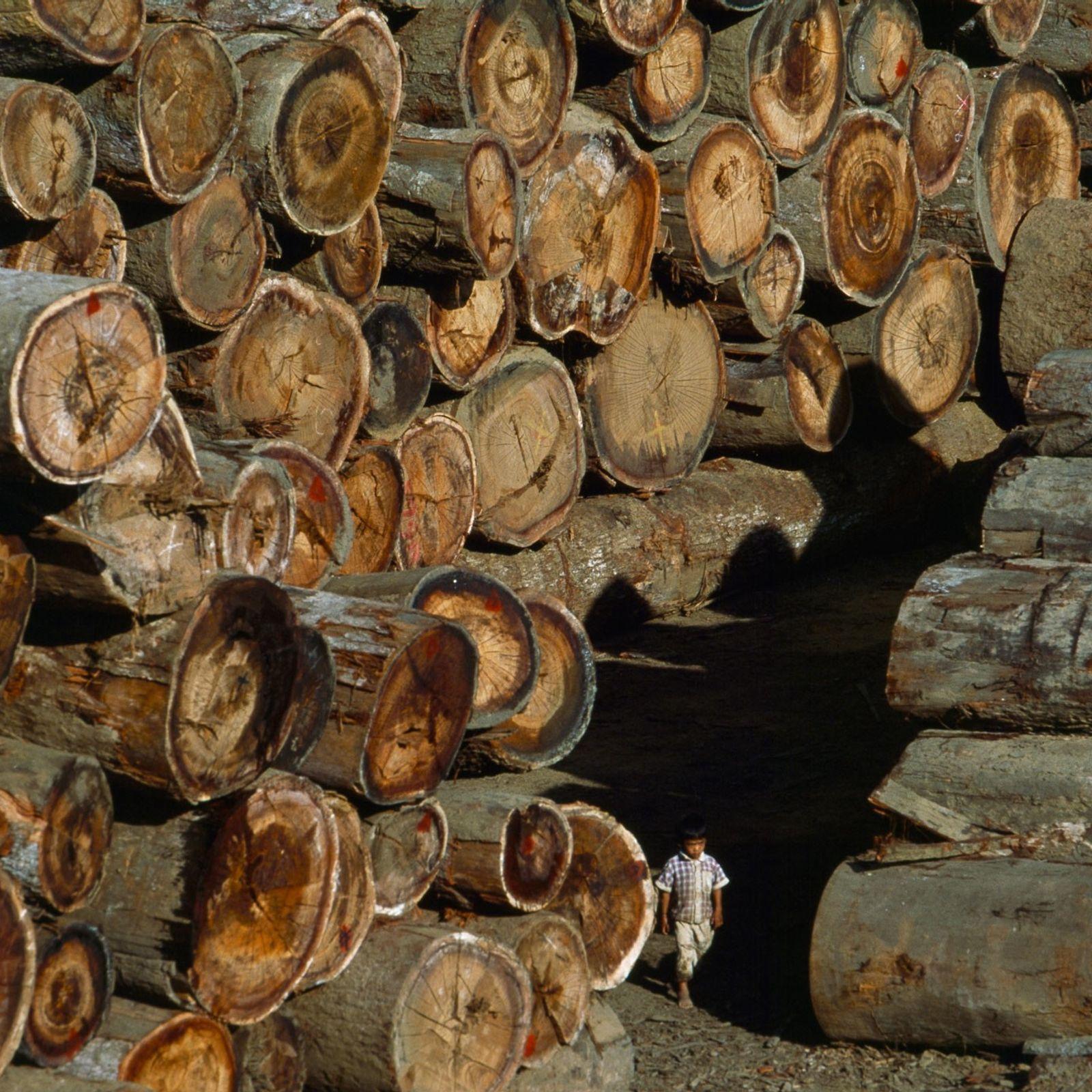 Depuis 2014, le Myanmar a interdit l'exportation des grumes de teck sauvage, ici en photo. Près ...