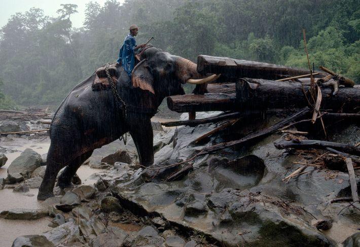 Les éléphants sont depuis longtemps utilisés pour remorquer les gros troncs de teck jusqu'aux rives du ...