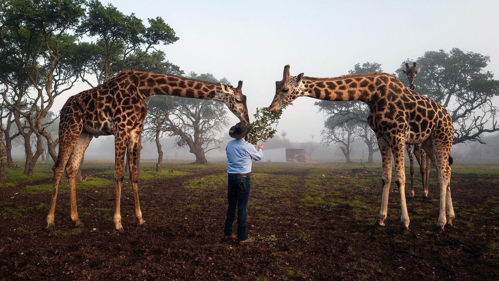 Brian Gilroy, propriétaire de Wildlife Partners, un élevage d'animaux exotiques, nourrit ses girafes à Mountain Home, ...