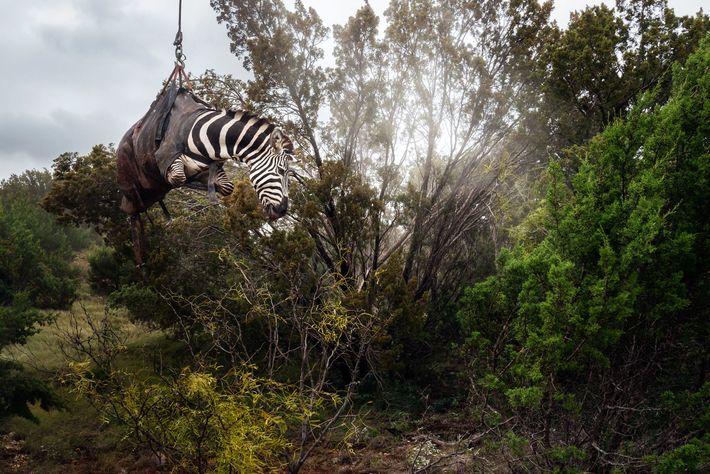 Un zèbre sous sédatifs est soulevé par hélicoptère sur les terres du ranch Sexy Whitetails, près ...