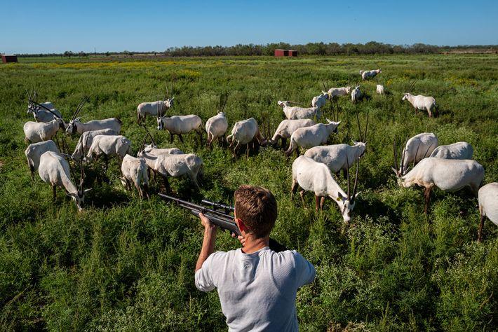 Directeur de l'élevage du 777 Ranch, un vaste domaine de chasse situé près d'Hondo, Michael Rann s'apprête ...