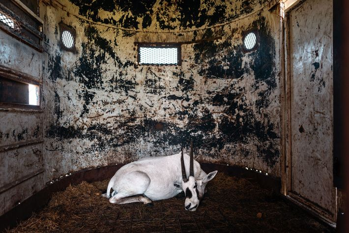 Un oryx d'Arabie attend d'être transporté vers un établissement de Wildlife Partners dans une remorque du ...