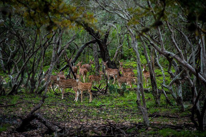 Natifs du continent asiatique, les cerfs axis déambulent sur de vastes pâturages au 777 Ranch. Au fil ...