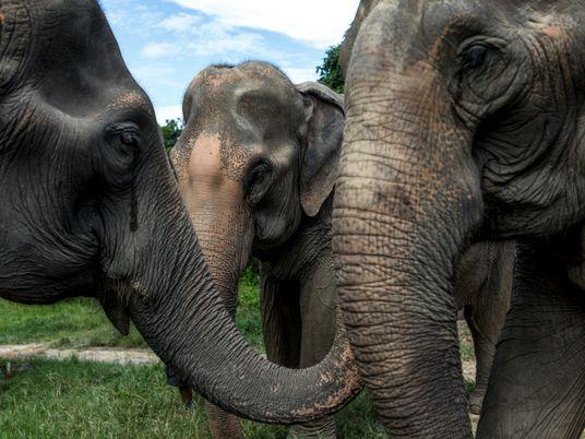 Après une année sans touristes, les éléphants thaïlandais sont plus que jamais en danger
