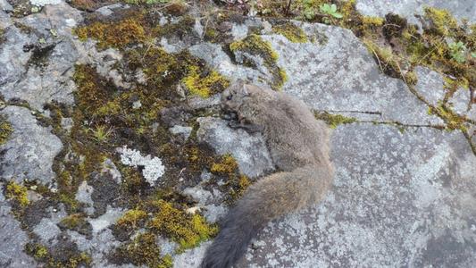 Deux nouvelles espèces d'écureuils volants viennent d'être identifiées dans l'Himalaya