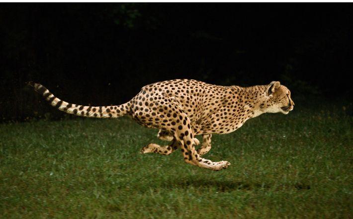 La course du guépard contre l'extinction