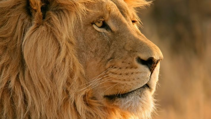 Les lions d'Afrique pourraient disparaître avant 2050