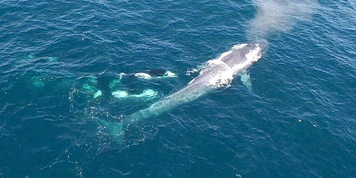 Attaque d'orques sur une baleine bleue