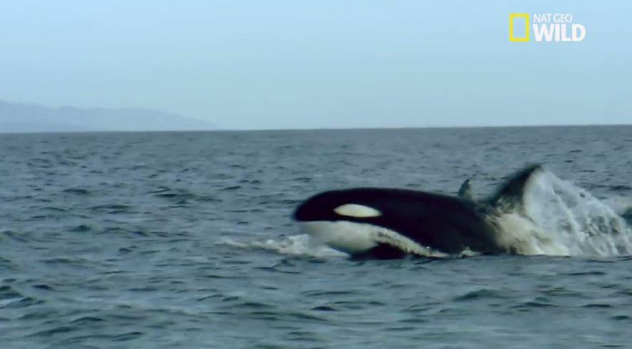 Une baleine et son petit pris en chasse par un groupe d'orques