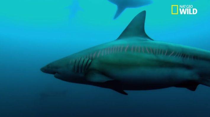 Les requins cuivres
