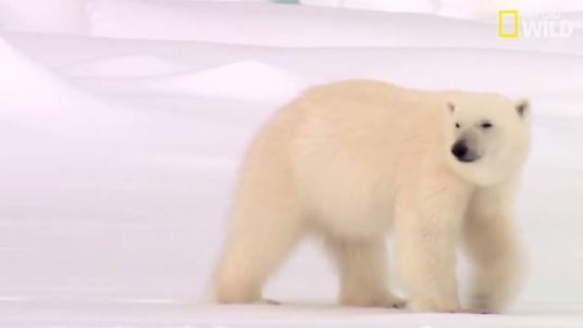 L'adaptation au froid chez les ours polaires
