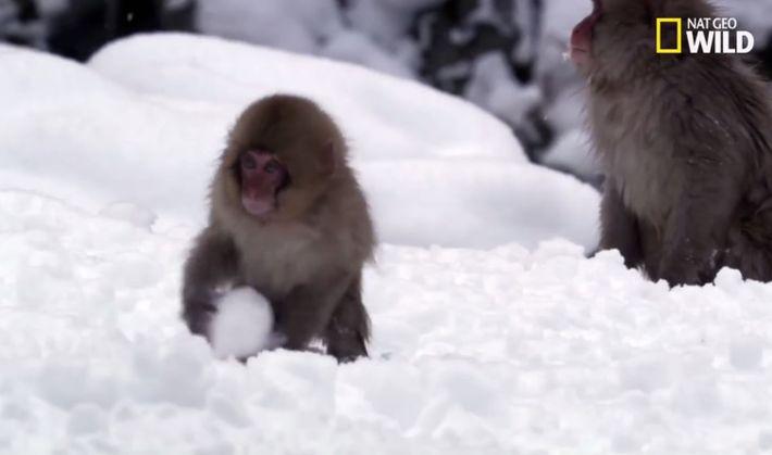 Les macaques japonais