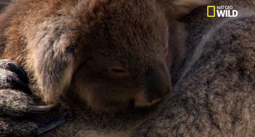 Comment vit le koala ?