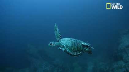 Les 7 espèces de tortues marines sont menacées