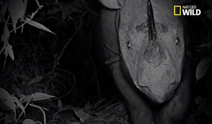 Apparition d'un rhinocéros de Sumatra, le plus rare rhinocéros au monde