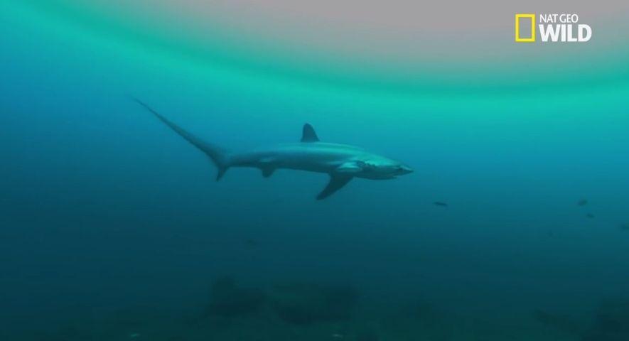 Le requin-renard