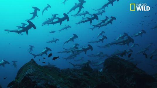 Le requin-marteau halicorne, une espèce menacée