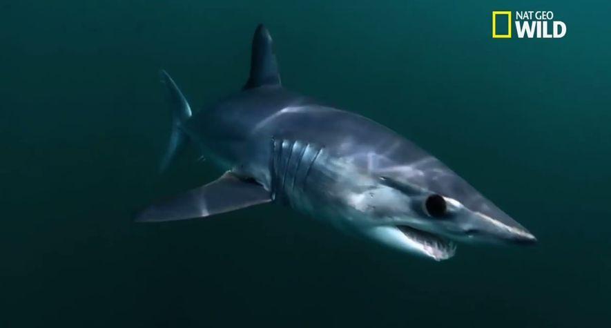Le requin mako, le plus rapide du monde