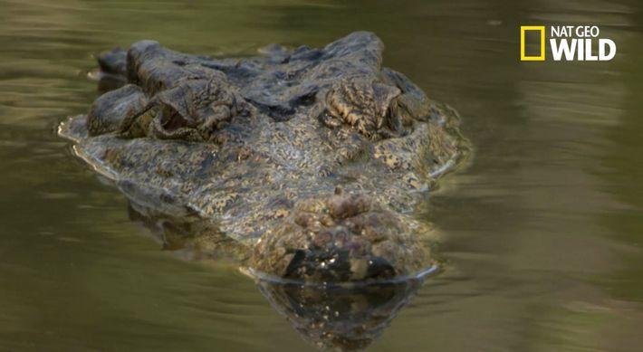 Un crocodile dévore un porcin de 90kg