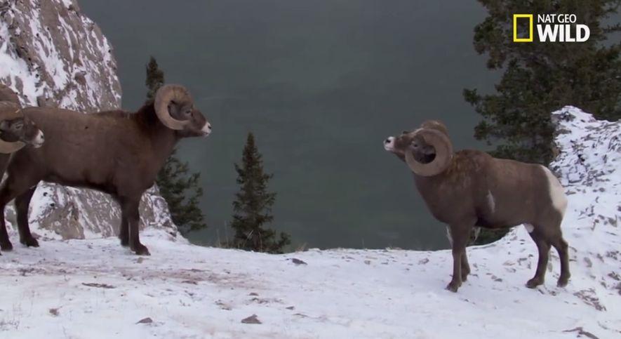 La résistance des mouflons des Rocheuses
