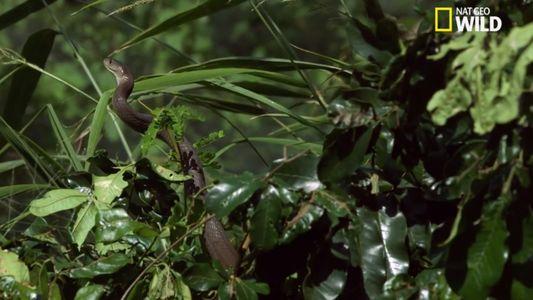 Le mamba noir, serpent le plus mortel au monde