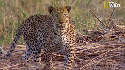 Le léopard, expert de la chasse en embuscade