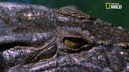 Le crocodile marin, plus grand reptile au monde