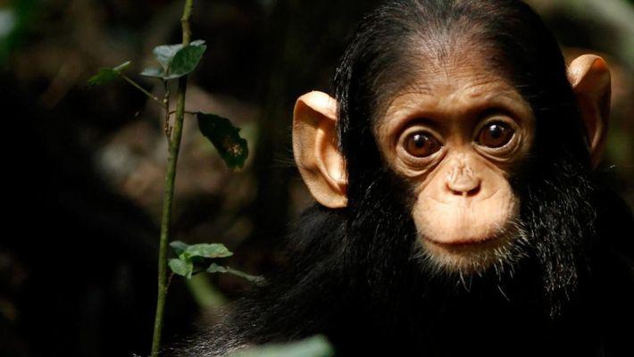 Il y a très peu de différence entre un bébé humain et un bébé singe
