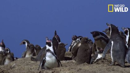 Des cormorans chargent des manchots