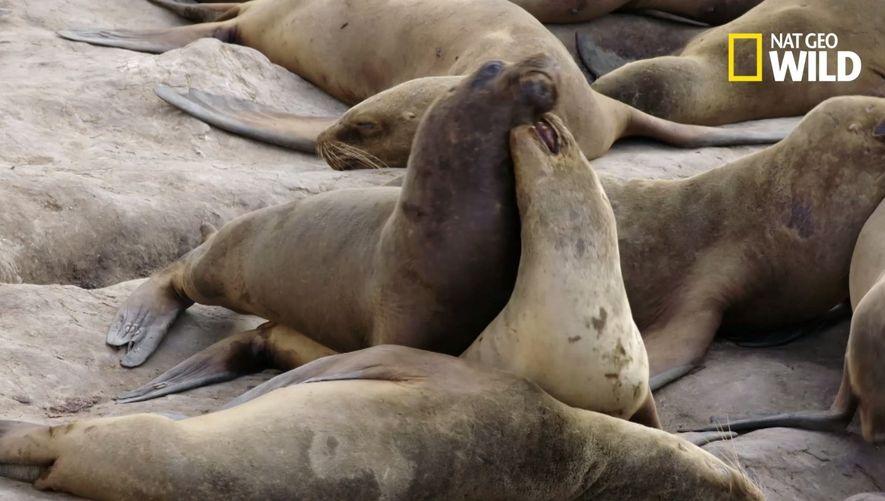 Des lions de mer s'en prennent à des bébés