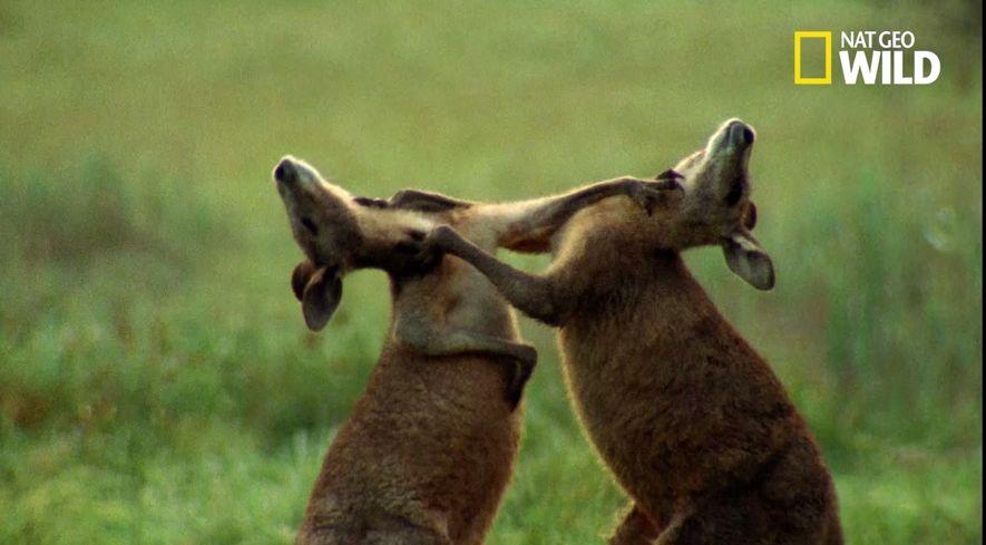 Les kangourous sont taillés pour le combat