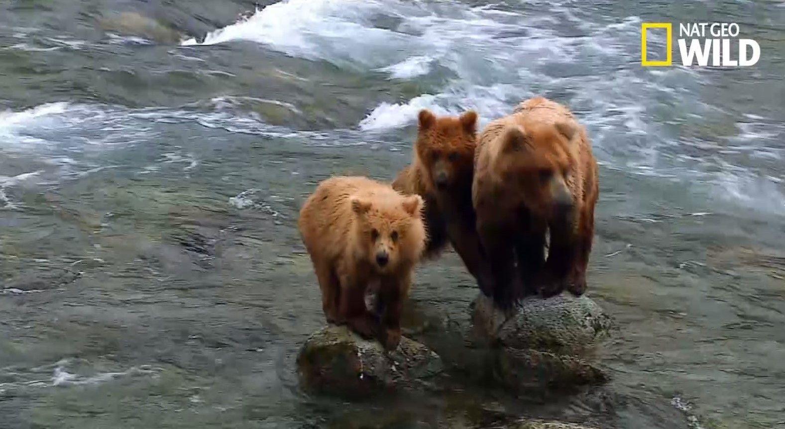 Cette maman ours se lance à l'assaut d'un mâle de 2 fois sa taille | National Geographic