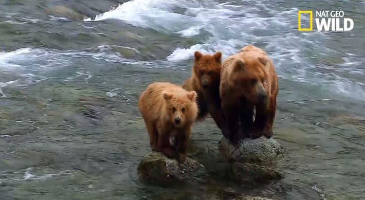 Cette maman ours se lance à l'assaut d'un mal de 2 fois sa taille
