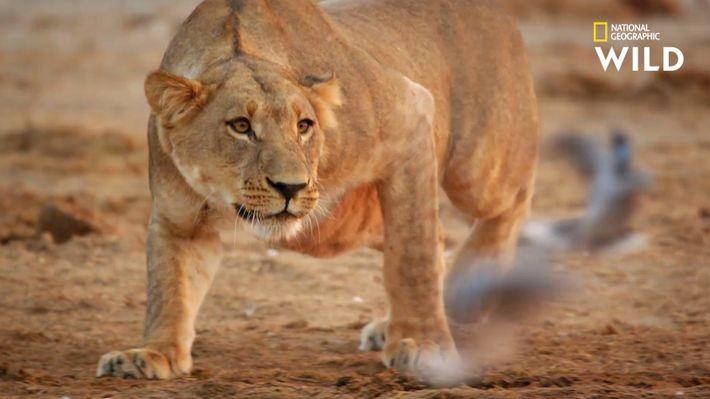 Un clan de lions contre un troupeau d'éléphants