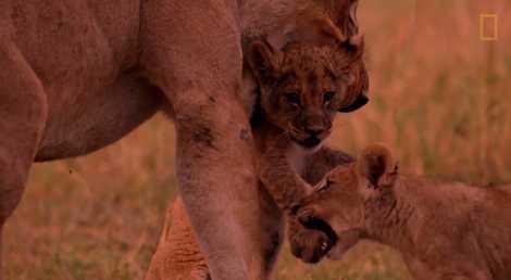 Traqués jusqu'à l'extinction, quelques lions repeuplent le Botswana