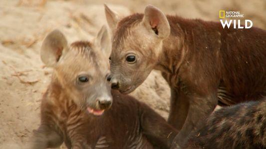 Les bébés hyènes sont des prédateurs redoutables