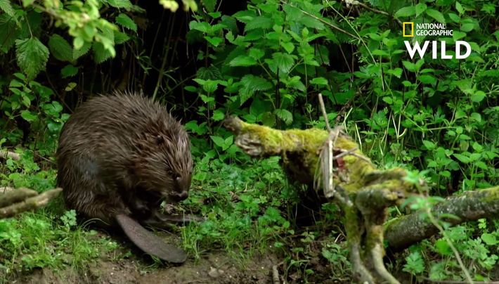 Un castor prenant soin de son pelage