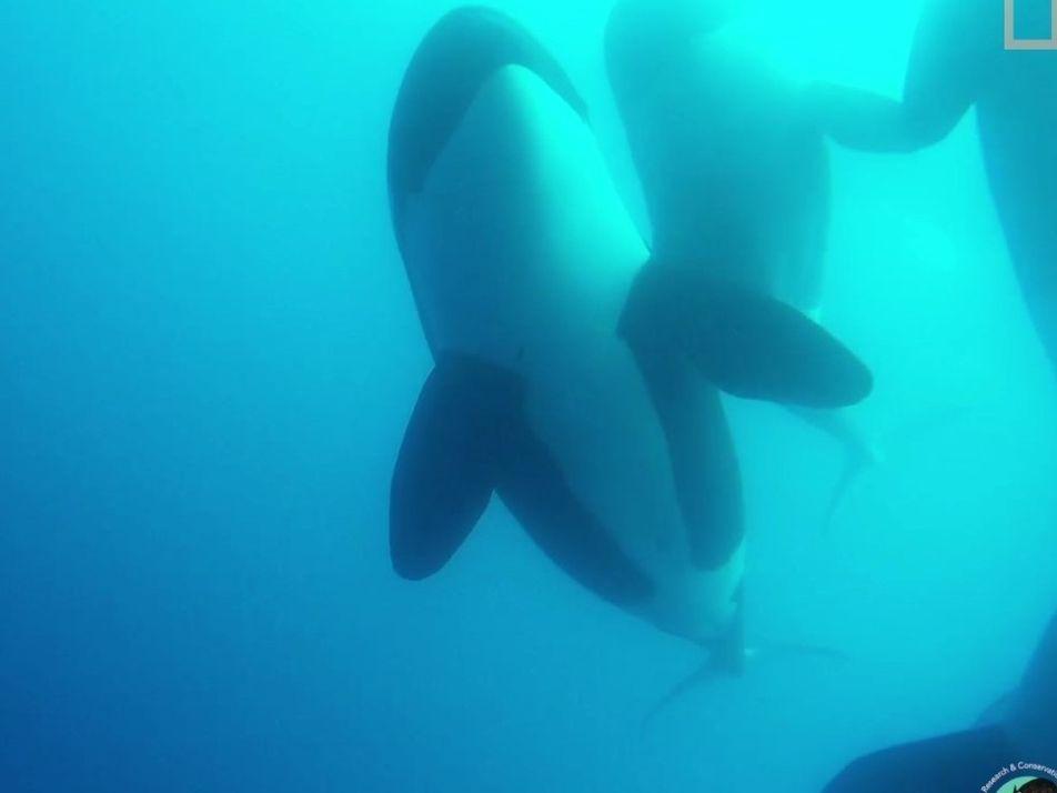 Rare : un nouveau type d'orque a été observé à l'état sauvage