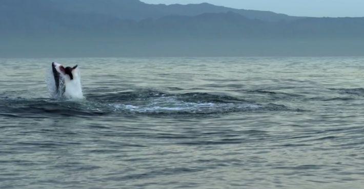L'attaque en groupe d'une colonie d'otaries sur un requin