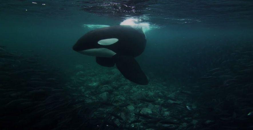 La stratégie d'attaque coordonnée des orques