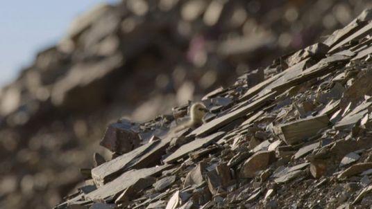 Ces oisillons sautent de plus de 100m de haut pour survivre
