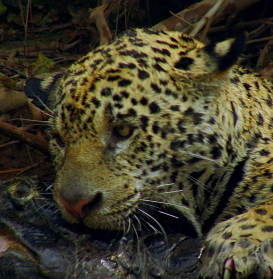Les jaguars, prédateurs ultimes d'Amazonie