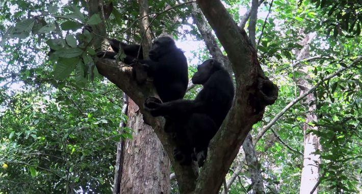 Des chimpanzés mangeant une tortue filmés pour la première fois