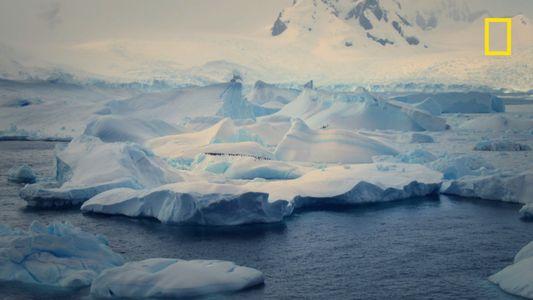Les manchots papous d'Antarctique